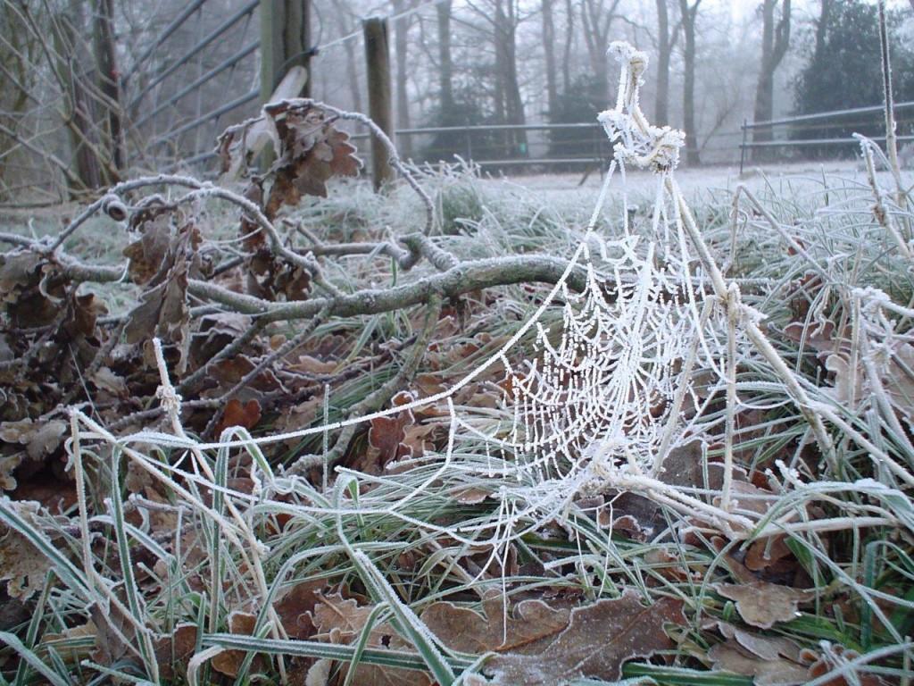 Spinneweb met rijp