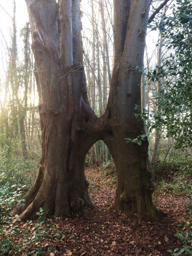 018-Aan elkaar gegroeide bomen